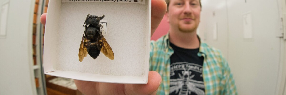 Scientists discover giant bee long feared extinct