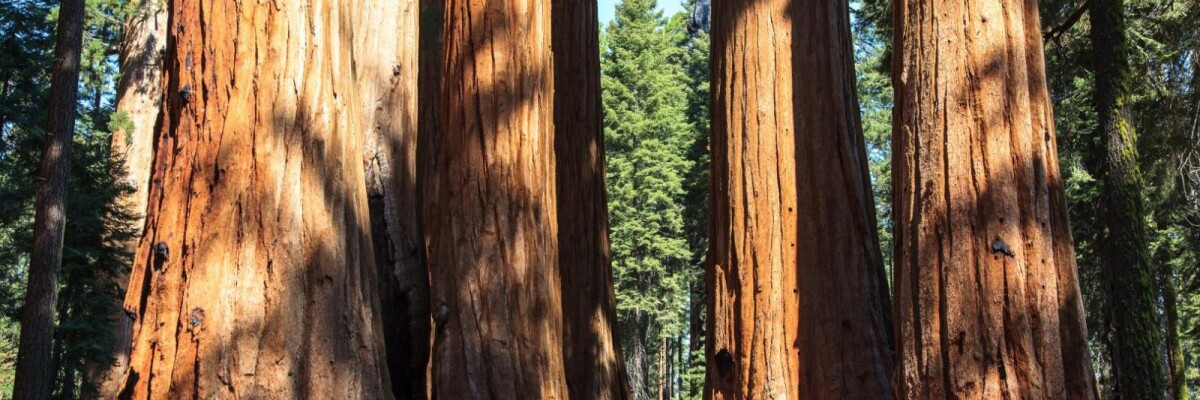 Saplings Cloned from More Than 3,000-year-old Sequoias Planted in California