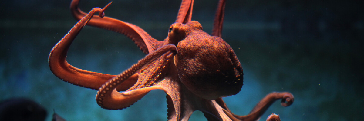 New information revealed about octopus nervous system