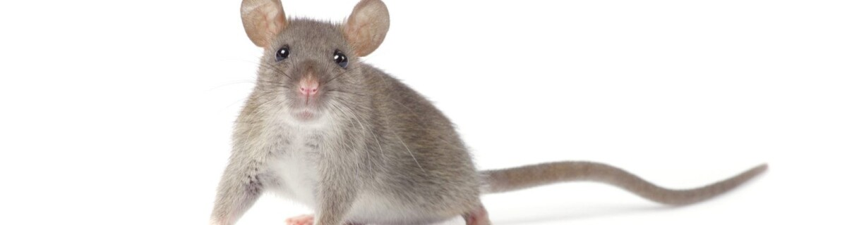 DeepSqueak neural network will learn the language of rats