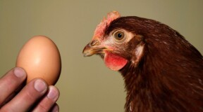 Hens Are Happy: Scientists Find Protein Substitute for Eggs