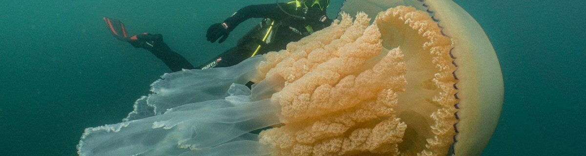 Giant jellyfish discovered in the United Kingdom