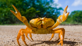 The Pacific Ocean is destroying crabs' shells