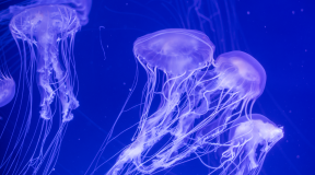 Jellyfish will be used to study the world's oceans